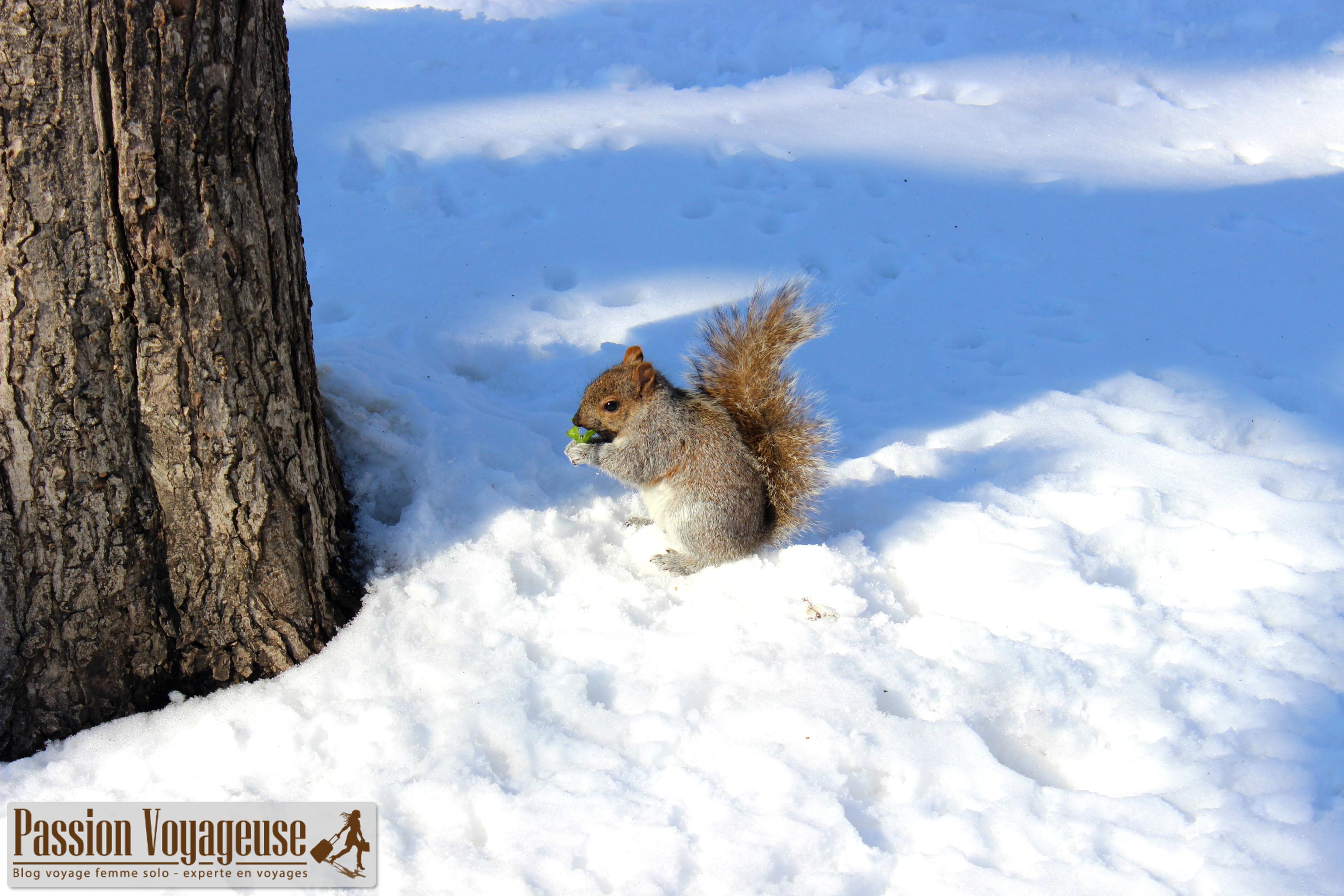 écureuil parc lafontaine montreal canada hiver